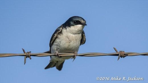 Tree Swallow #24