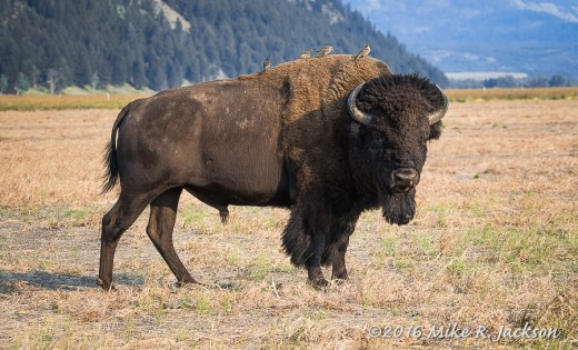 Bison and Birds