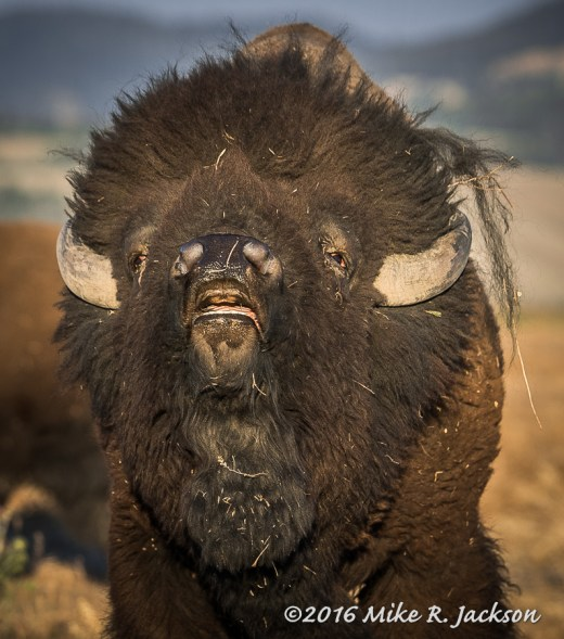 Bison Lip Curl
