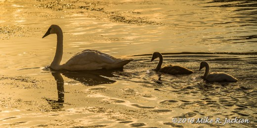 Gold Swans