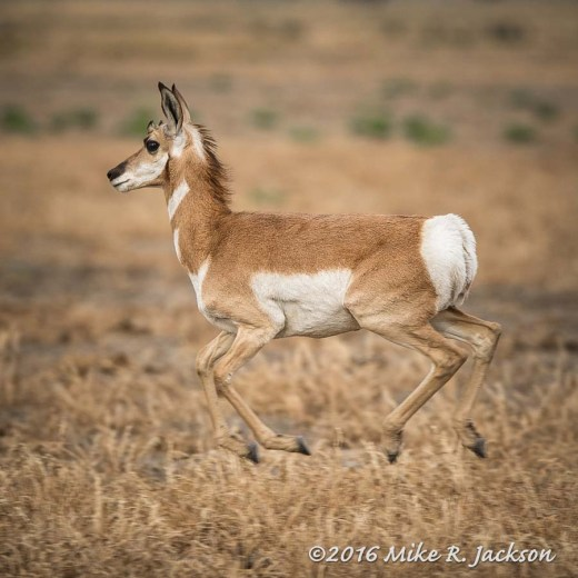 Pronghorn in the Air
