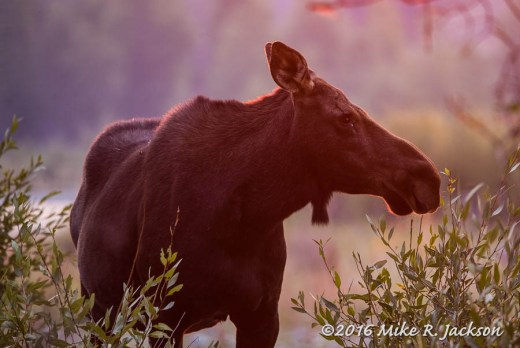 Sunrise Cow Moose