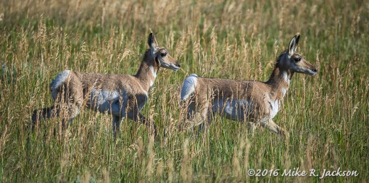 Young Pronghorns