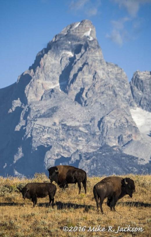 Bison Trio