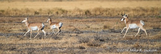 Running Pronghorns