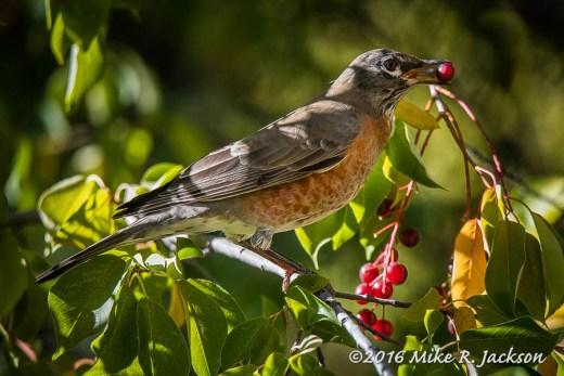 Robin and Choke Cherries