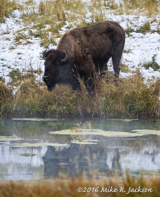 Bison at the Kelly Warm Springs