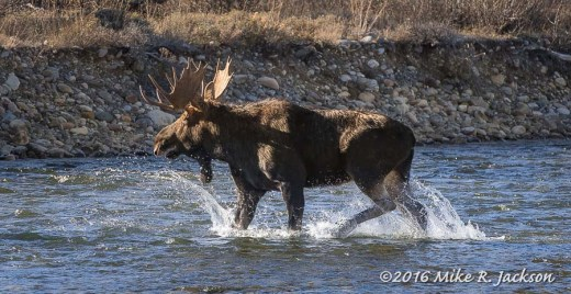 Bull Crossing Gros Ventre