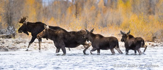 Four Moose Crossing