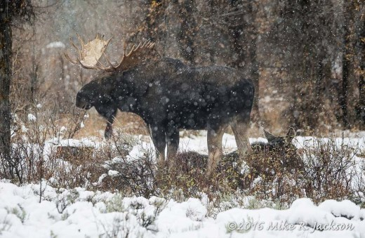 Moose In Snow
