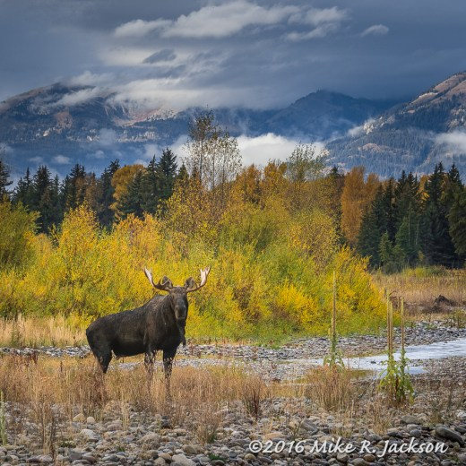 Moose on Gros Ventre