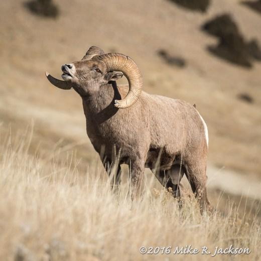Bighorn Lip Curl