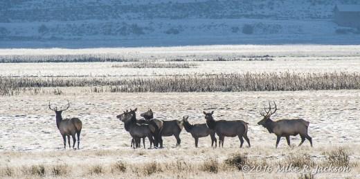 Refuge Elk
