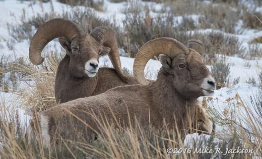 Resting Bighorn Rams