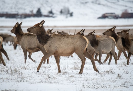 Elk Refuge Herd