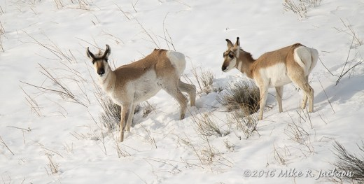 Pronghorns