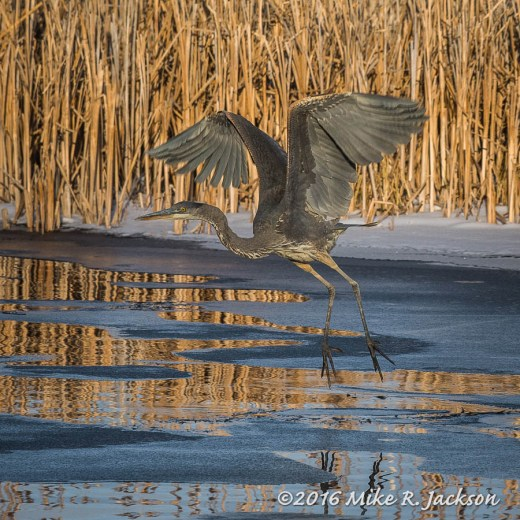 Wintering Great Blue Heron