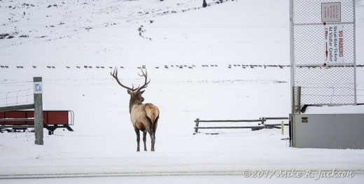 Bull Elk at Gate