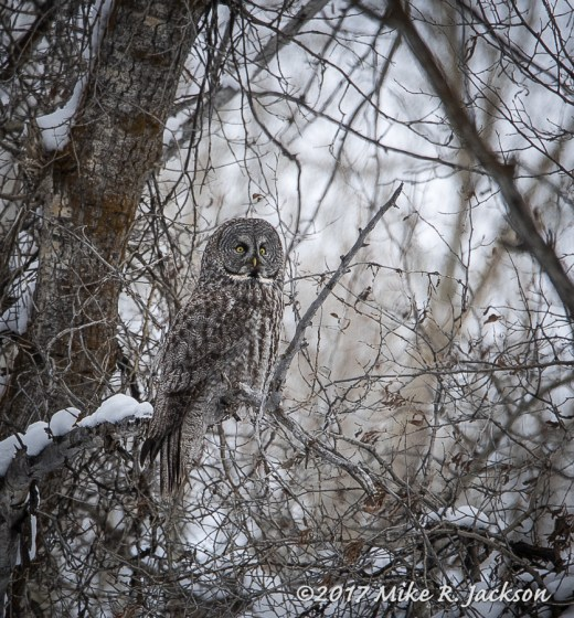 Great Gray Owl in Cottonwoods