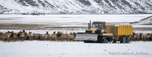 Elk Feeding