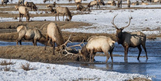 Elk In Flat Creek