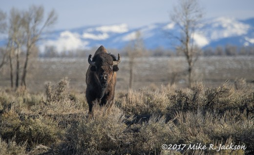 Bison Bull on Ridge
