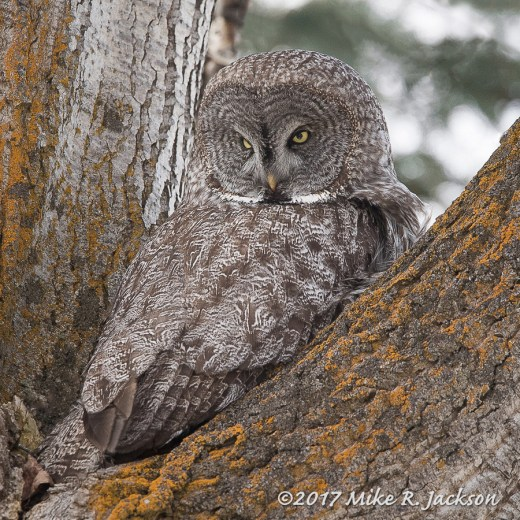 Great Gray Owl in Fork