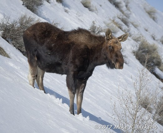 Bull Moose on Slope