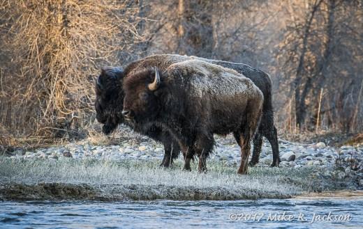 Bison at Gros Ventre