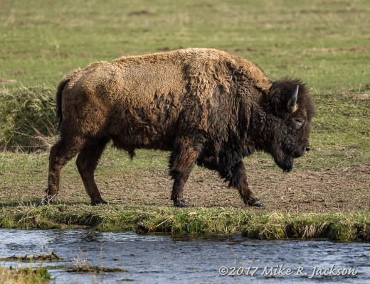 Bison by Kelly Warm Springs