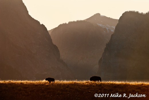 Bison and Death Canyon