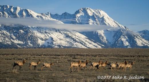 Elk and Mt. Moran