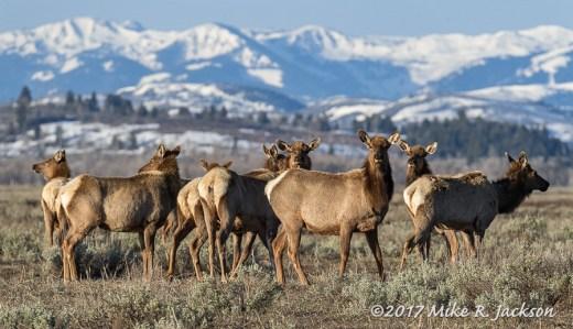 Elk in the Sage