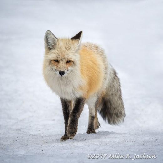 Approaching Fox