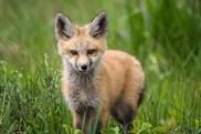 Single Kit Fox