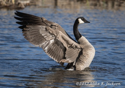Stretching Canada Goose