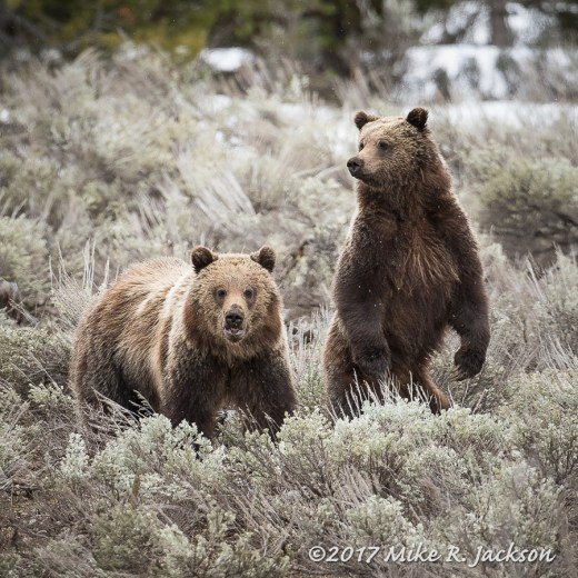 Sub-adult Grizzlies