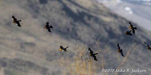 Yellow Headed Blackbirds