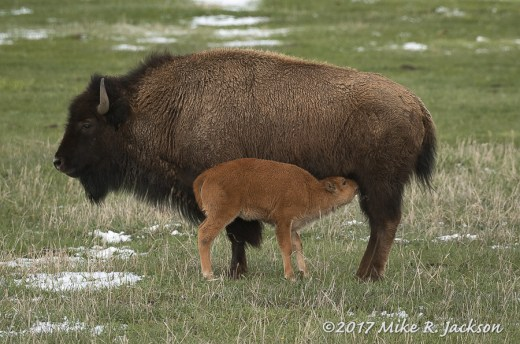 Nursing Bison