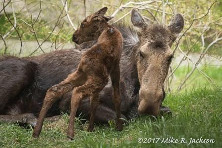Newborn Moose!
