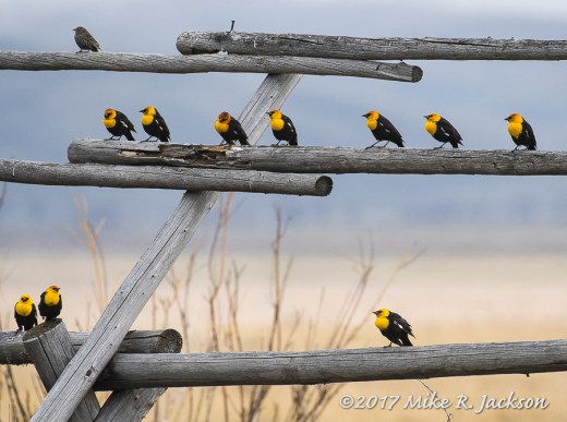 Fence with Blackbirds