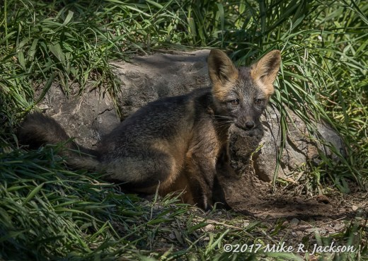 Fox with Vole