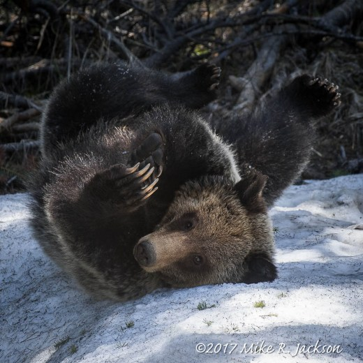 Grizzly on Snow