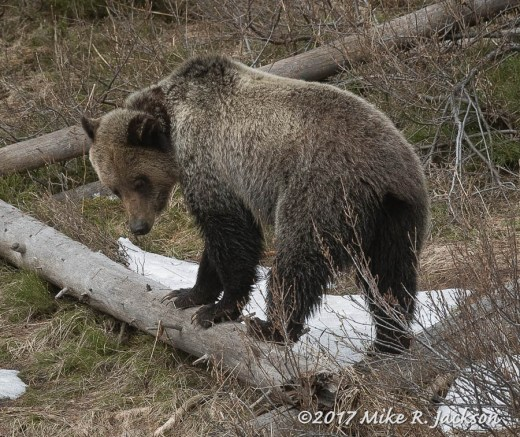 Grizzly on Logs