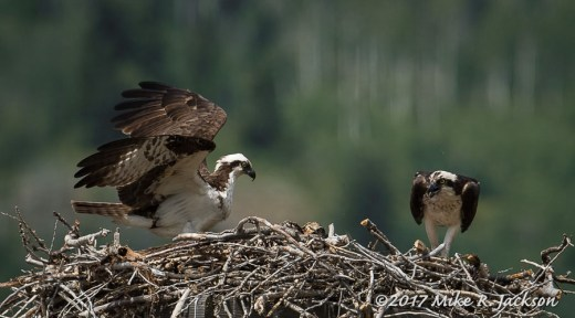 Osprey Adults