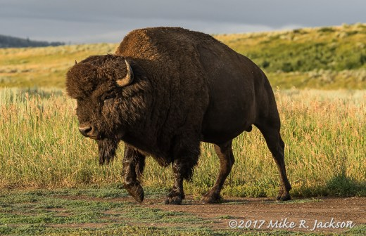 Sunrise Bull Bison