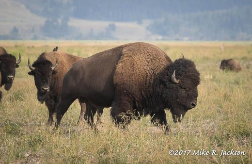Bison Bull and Cow