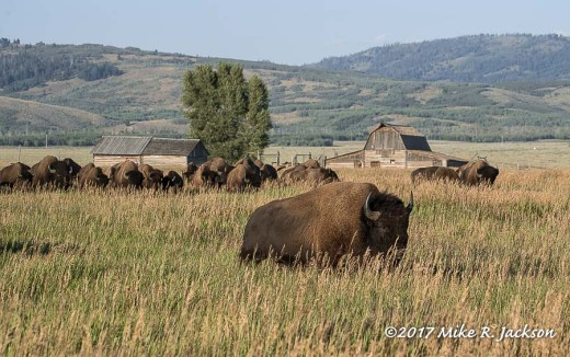 Bison and Barns