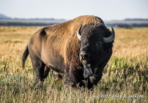 Bison in Gold Grass