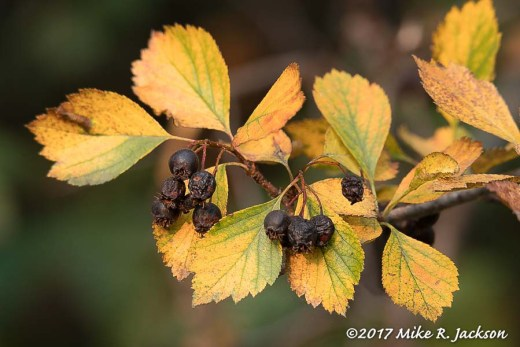 Black Hawthorne Berries